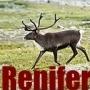 Renifer